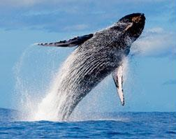 Whale Watching in Oahu
