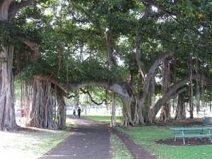 Banyan trees at Kapiolani Park