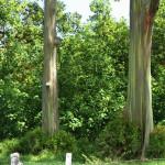 Ke'anae Arboretum - Rainbow Eucalyptus Trees