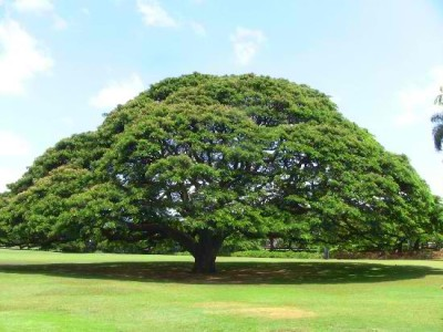 Moanalua Gardens - The Hitachi Tree