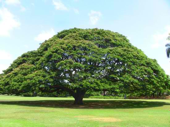 Moanalua Gardens - The Hitachi Tree