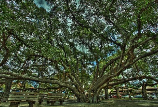 The Banyan Tree - Lahaina, Maui, Hawaii