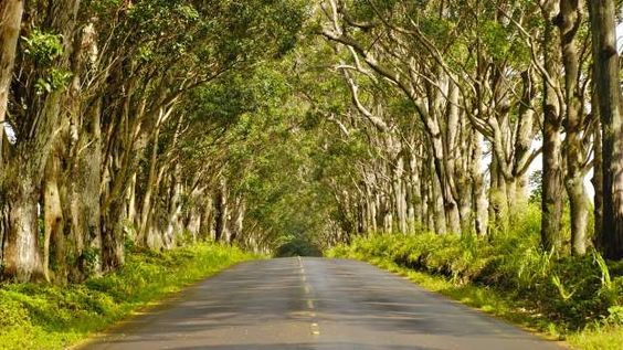 Tunnel of Trees - Kauai, Hawaii
