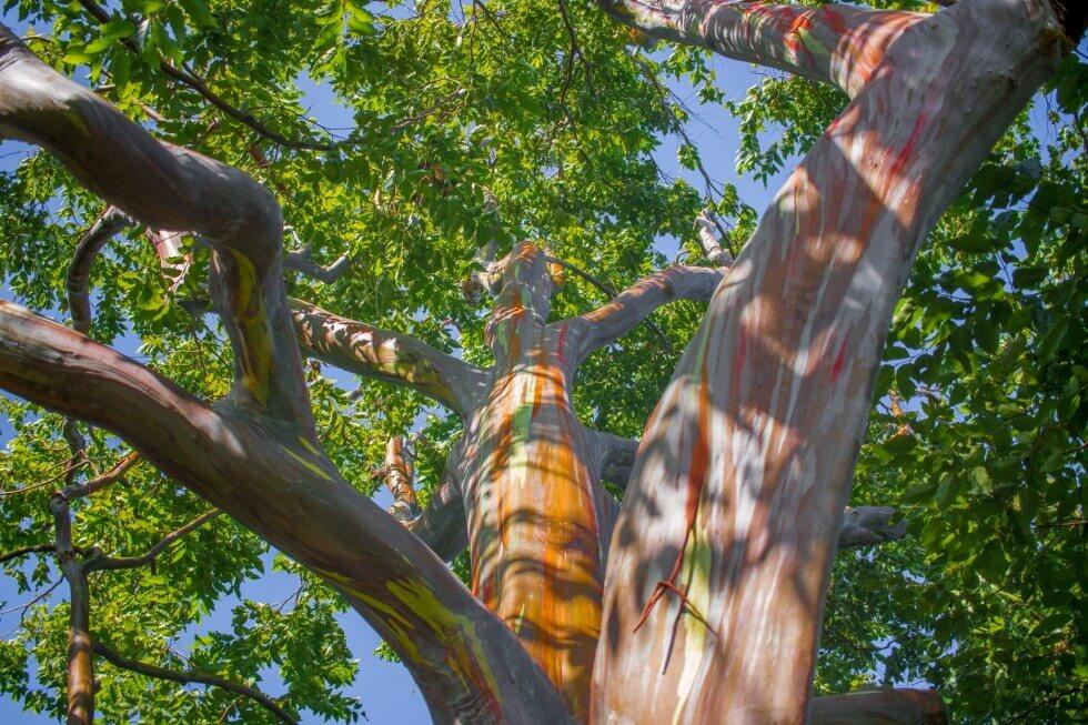 Rainbow Eucalyptus Tree in Maui
