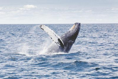 Whale Watching in Kauai